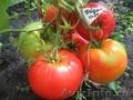 Семена коллекционных сортов томатов