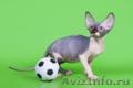 Заворaживающий котёнок канадский сфинкс. - Изображение #3, Объявление #1322504